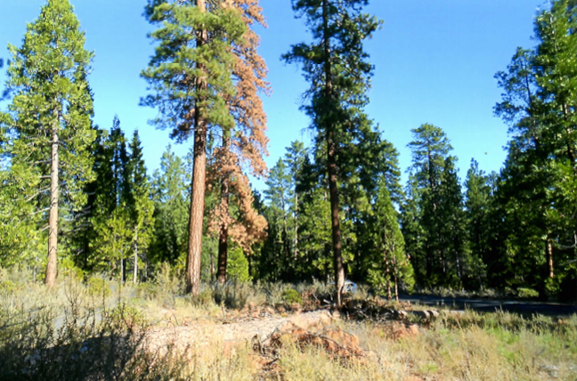 Ponderosa Pine Beetle Damage