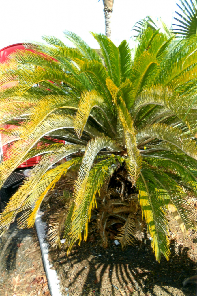 Sago Palm Florida Pink Cycad Scale